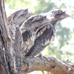 Podargus strigoides (Tawny Frogmouth) at Hughes Grassy Woodland - 19 Dec 2018 by TomT