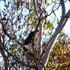 Oriolus sagittatus (Olive-backed Oriole) at Red Hill Nature Reserve - 17 Dec 2018 by TomT