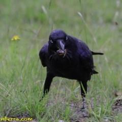 Corvus coronoides (Australian Raven) at Sth Tablelands Ecosystem Park - 18 Dec 2018 by BIrdsinCanberra