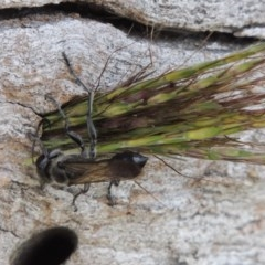 Isodontia sp. (genus) (Unidentified Grass-carrying wasp) at Urambi Hills - 24 Dec 2018 by michaelb