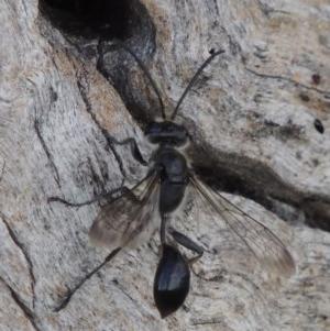 Isodontia sp. (genus) at Tuggeranong DC, ACT - 24 Dec 2018
