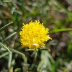 Rutidosis leptorhynchoides (Button wrinklewort) at Stirling Park - 26 Dec 2018 by jpittock