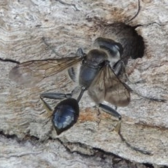 Isodontia sp. (genus) (Unidentified Grass-carrying wasp) at Tuggeranong DC, ACT - 26 Dec 2018 by michaelb