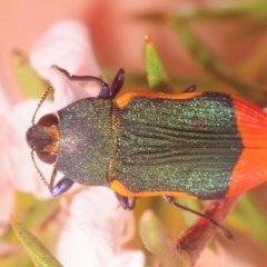 Castiarina kerremansi (A jewel beetle) at Tidbinbilla Nature Reserve - 27 Dec 2018 by Harrisi