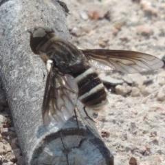 Villa sp. (genus) (Unidentified Villa bee fly) at Urambi Hills - 26 Dec 2018 by michaelb