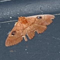 Dasypodia selenophora (Southern old lady moth) at Jerrabomberra Wetlands - 27 Dec 2018 by RodDeb