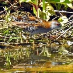Zapornia pusilla (Baillon's Crake) at Jerrabomberra Wetlands - 26 Dec 2018 by RodDeb