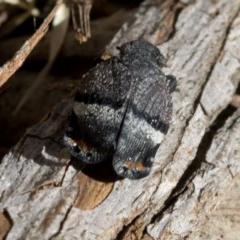 Platybrachys decemmacula (Green-faced gum hopper) at Tidbinbilla Nature Reserve - 18 Nov 2018 by Judith Roach