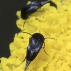 Mordella sp. (genus) (Pintail or tumbling flower beetle) at Namadgi National Park - 7 Dec 2018 by JudithRoach