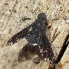 Anthrax sp. (genus) (Unidentified Anthrax bee fly) at ANBG - 16 Dec 2018 by TimL