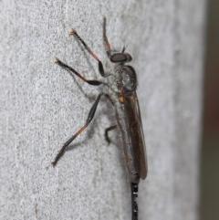 Cerdistus sp. (genus) at ANBG - 21 Dec 2018
