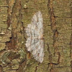 Ectropis excursaria (Common Bark Moth) at ANBG - 18 Dec 2018 by TimL