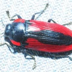 Temognatha rufocyanea (Jewel beetle) at Bugong National Park - 23 Dec 2018 by Harrisi