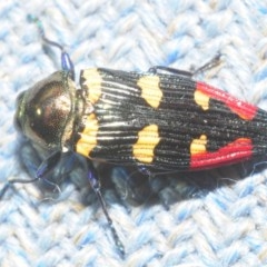 Castiarina insignis (Jewel beetle) at Bugong National Park - 23 Dec 2018 by Harrisi