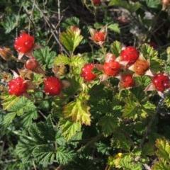 Rubus parvifolius (Native Raspberry) at Tuggeranong DC, ACT - 26 Dec 2018 by michaelb