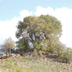 Brachychiton populneus subsp. populneus (Kurrajong) at Urambi Hills - 26 Dec 2018 by michaelb