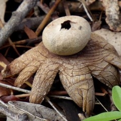 Astraeus hygrometricus (Barometer Earthstar) at Brogo, NSW - 29 Dec 2018 by MaxCampbell