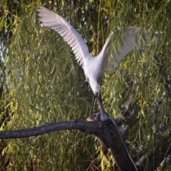 Platalea regia (Royal Spoonbill) at Jerrabomberra Wetlands - 28 Dec 2018 by GlennMcMellon