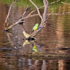 Psephotus haematonotus (Red-rumped Parrot) at Jerrabomberra Wetlands - 28 Dec 2018 by GlennMcMellon