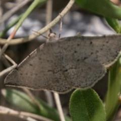 Taxeotis intextata (Looper Moth, Grey Taxeotis) at Mount Clear, ACT - 1 Dec 2018 by SWishart