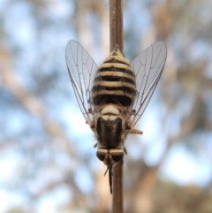 Australiphthiria hilaris (Slender Bee Fly) at Mount Painter - 27 Dec 2018 by CathB