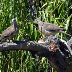 Streptopelia chinensis (Spotted Dove) at Jerrabomberra Wetlands - 28 Dec 2018 by RodDeb