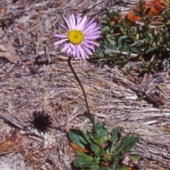 Brachyscome spathulata (Brachyscome) at Namadgi National Park - 12 Dec 2003 by BettyDonWood