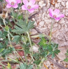 Geranium potentilloides var. potentilloides at Namadgi National Park - 12 Dec 2003 by BettyDonWood