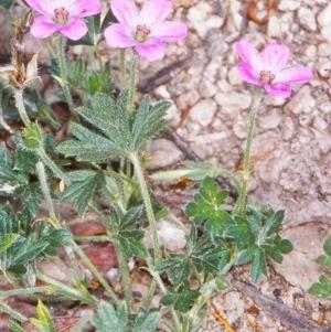Geranium potentilloides var. potentilloides at Namadgi National Park - 13 Dec 2003