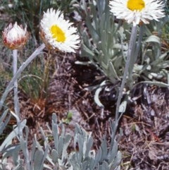 Leucochrysum alpinum (Alpine Sunray) at Namadgi National Park - 12 Dec 2003 by BettyDonWood