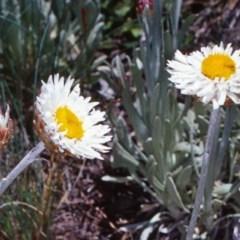 Leucochrysum alpinum at Namadgi National Park - 13 Dec 2003