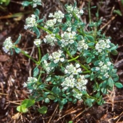Poranthera microphylla (Poranthera) at Namadgi National Park - 12 Dec 2003 by BettyDonWood
