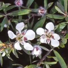 Leptospermum grandifolium (Woolly Teatree, Mountain Tea-tree) at Namadgi National Park - 13 Jan 2005 by BettyDonWood