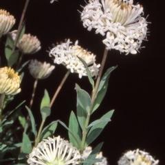 Pimelea treyvaudii (Grey Riceflower) at Namadgi National Park - 23 Nov 2004 by BettyDonWood