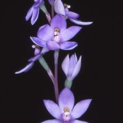Thelymitra sp. (A sun orchid) at Namadgi National Park - 23 Nov 2004 by BettyDonWood