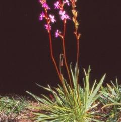Stylidium armeria subsp. armeria (Trigger plant) at Namadgi National Park - 28 Jan 2005 by BettyDonWood