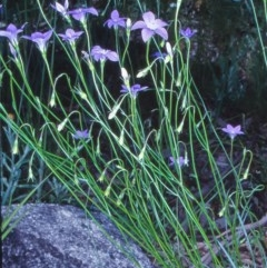 Wahlenbergia stricta subsp. stricta (Tall Bluebell) at Namadgi National Park - 16 Dec 2003 by BettyDonWood