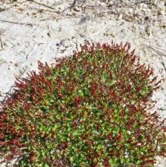 Gonocarpus micranthus subsp. micranthus (Creeping Raspwort) at Gibraltar Pines - 15 Dec 2004 by BettyDonWood