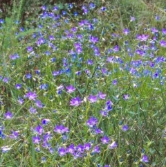 Wahlenbergia stricta subsp. stricta (Tall Bluebell) at Namadgi National Park - 16 Jan 2005 by BettyDonWood