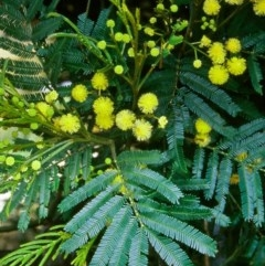 Acacia parramattensis (Wattle) at Paddys River, ACT - 27 Dec 2004 by BettyDonWood