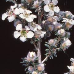 Leptospermum lanigerum (Woolly Teatree) at Namadgi National Park - 23 Nov 2004 by BettyDonWood
