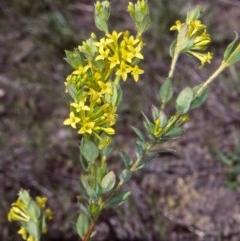 Pimelea curviflora var. acuta at Namadgi National Park - 22 Nov 2004 by BettyDonWood