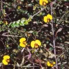 Bossiaea buxifolia (Bush Pea) at Black Mountain - 30 Nov 2001 by BettyDonWood