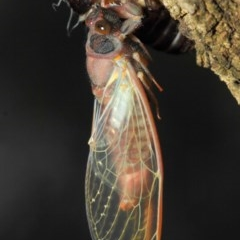 Yoyetta sp. (genus) (Firetail or Ambertail Cicada) at ANBG - 23 Dec 2018 by TimL