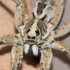 Tasmanicosa godeffroyi (Garden Wolf Spider) at Evatt, ACT - 25 Dec 2018 by TimL