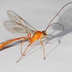 Enicospilus sp. (genus) (An ichneumon wasp) at Evatt, ACT - 25 Dec 2018 by TimL