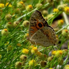 Junonia villida (Meadow Argus) at Brogo, NSW - 29 Dec 2018 by MaxCampbell
