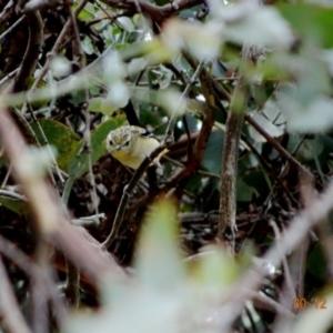 Pardalotus punctatus at Red Hill Nature Reserve - 30 Dec 2018