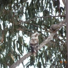 Dacelo novaeguineae (Laughing Kookaburra) at Red Hill Nature Reserve - 29 Dec 2018 by TomT