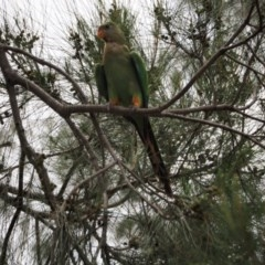 Polytelis swainsonii (Superb Parrot) at Belconnen, ACT - 30 Dec 2018 by wombey
